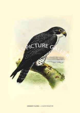 COMMON FALCON ---- FALCO COMMUNIS